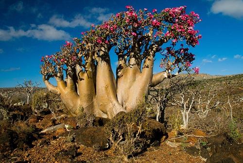 ソコトラ島 ボトルツリー花