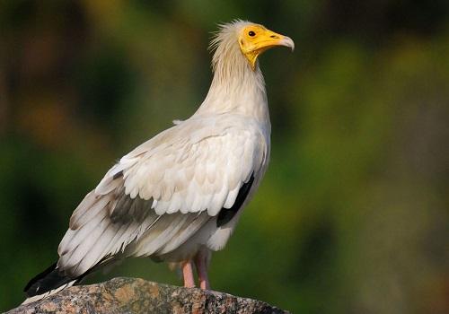 ソコトラ島 エジプトハゲワシ