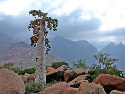 ソコトラ島 キュウリの木
