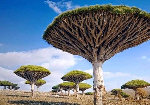 ソコトラ島 竜血樹