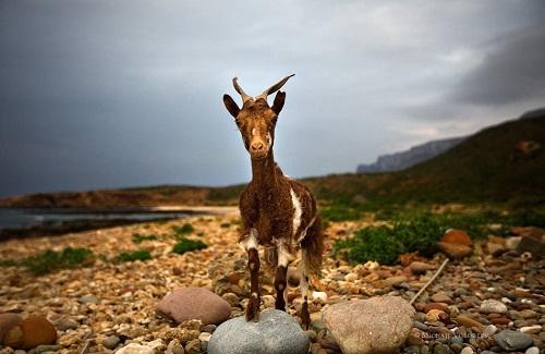 ソコトラ島 山羊