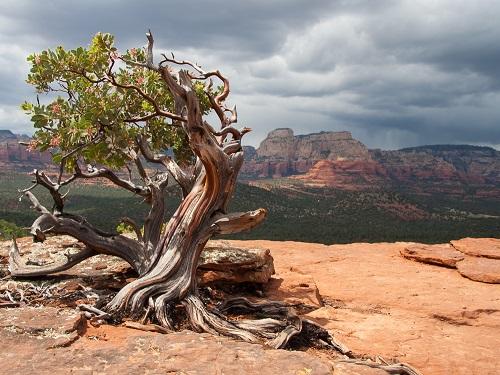 セドナ 渦巻く木